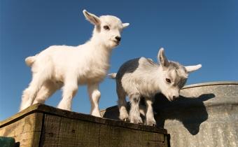 zs_us_pygmy_goat_shutterstock_418691629
