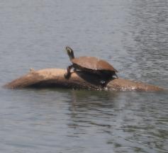 Kayaking the Catawba - Turtle